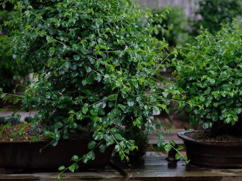 Sainte lucie bonsaï